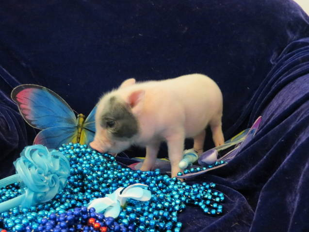 The popularity of Teacup Pigs