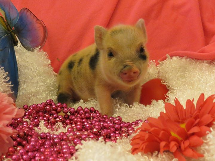 Legalization of Mini Pigs